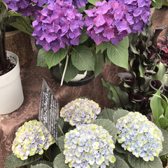 「今の時期、紫陽花が元気ですね♪ でも、こ…」(2枚目)