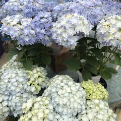 「今の時期、紫陽花が元気ですね♪ でも、こ…」(6枚目)