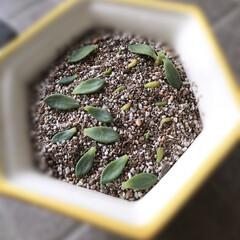 グリーン 多肉植物/雑貨/暮らし 多肉植物は、こんな風にすると、そこから根…(1枚目)