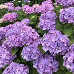 梅雨/梅雨対策/雨対策/梅雨対策アイテム/梅雨便利グッズ 今日は、紫陽花を見に行きました。 久しぶ…(4枚目)