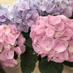 「今の時期、紫陽花が元気ですね♪ でも、こ…」(4枚目)