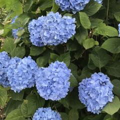 梅雨/梅雨対策/雨対策/梅雨対策アイテム/梅雨便利グッズ 今日は、紫陽花を見に行きました。 久しぶ…(5枚目)
