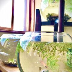 ペット/癒し/ガラス/ダイソー/暮らしを楽しむ ダイソーで買った金魚鉢 赤、白、茶のメダ…