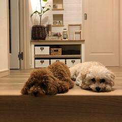 イモムシ/多頭飼い/マルプー/トイプードル/フロアタイル/サンゲツ/... 玄関から続くリビングの床 框も買って貼り…