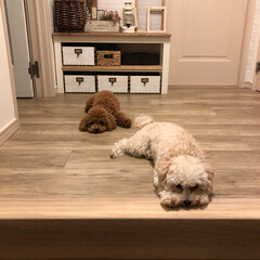 イモムシ/多頭飼い/マルプー/トイプードル/フロアタイル/サンゲツ/... 玄関から続くリビングの床 框も買って貼り…(2枚目)
