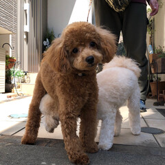 スッキリ/サッパリ/パピー/犬と暮らす家/愛犬/ドッグ/... 昨日やっと トリミング✂️してきました✨…