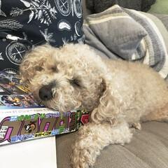 枕/爆睡中/コロコロコミック/ペット 我が家の愛犬モカさん❤️  眠くなると …