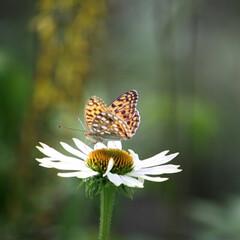 ガーデニング/花 夏の花エキナセア