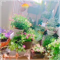 お花大好き/ベランダガーデニング/ベランダガーデン/お花/令和の一枚/LIMIAファンクラブ/... 夕暮れ時のベランダガーデン❤️ アズーロ…