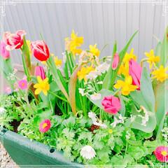 手作りシフォンケーキ/チューリップ/寄せ植え/お花大好き/LIMIAごはんクラブ/ハンドメイド/... お友だちのお家にお花を植えに行きました❤…(4枚目)
