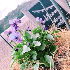 ベランダガーデニング/花のあるくらし/花のある生活/花のある暮らし/花/お花大好き/... 夏のお花がまだまだ元気だというのに、お花…(10枚目)