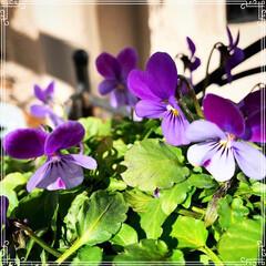 お花のある暮らし/ガーデニング/ベランダガーデニング/ベランダガーデン/お花大好き❤/おうち/... 小さいビオラ4種類❤️最後の1枚は普通の…(3枚目)