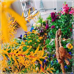 日常生活/100均大好き❤/ベランダガーデン/ベランダ/冬の一枚/フォロー大歓迎/... 今晩から雪の予報なので、鉢を大移動させま…(3枚目)