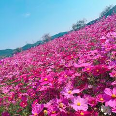 コスモス畑/コスモスが満開/コスモス コスモス園に行ってきました❤️(6枚目)