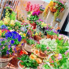 春の寄せ植え/ガーデニング/お花大好き/ビオラ/ベランダ/ベランダガーデン/... 今日のお花シリーズ🌸 今日は良く晴れて暖…
