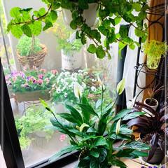 観葉植物のある暮らし/ガーデニング/お花/令和の一枚/フォロー大歓迎/LIMIAファンクラブ/... 今日のおうちの植物たち🥰