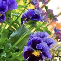 ベランダガーデニング/花のあるくらし/花のある生活/花のある暮らし/花/お花大好き/... 夏のお花がまだまだ元気だというのに、お花…(9枚目)