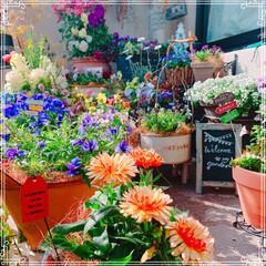 ベランダ/お花大好き/セリア/マイガーデン/ベランダガーデニング/球根の寄せ植え/... いいお天気で小春日和🌸 ベランダのお花達…