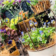 ベランダガーデン/ベランダ/ビオラ/お花大好き/ガーデニング/フォロー大歓迎/... ベランダに出ないと1日が始まらない❣️(…