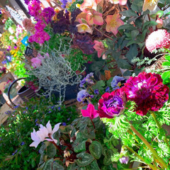 冬の庭/ビオラ/クリスマスローズ/ベランダガーデニング/ベランダガーデン/ベランダ/... 今日のベランダガーデン  暖かくて気持ち…
