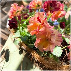 お花大好き/お花/ベランダ/ガーデニング/寄せ植え/冬のベランダ/... 明けましておめでとうございます㊗️🎉🎊 …(9枚目)