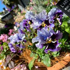 ガーデニング/ベランダガーデニング/インテリア/ベランダガーデン/ベランダ/観葉植物/... ベランダのお花🌸