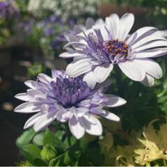 お花大好き/ガーデニング/ベランダガーデン/春の寄せ植え/風景/インテリア/... ①ダブルオステオスペルマムシルバー ②ネ…