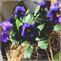 お花大好き/お花/ベランダ/ガーデニング/寄せ植え/冬のベランダ/... 明けましておめでとうございます㊗️🎉🎊 …(8枚目)