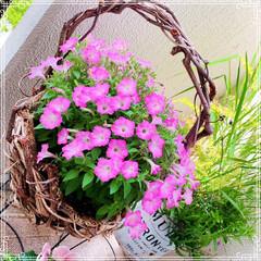 ガーデン/ガーデニング雑貨/お花大好き/ベランダガーデニング/ベランダガーデン/お花/... ベランダのペチュニアとサフィニア どんど…