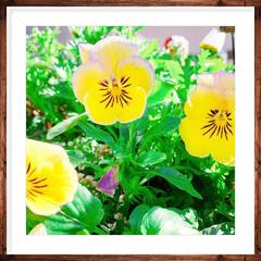 お花のある暮らし/ガーデニング/ベランダガーデニング/ベランダガーデン/お花大好き❤/おうち/... 小さいビオラ4種類❤️最後の1枚は普通の…(5枚目)
