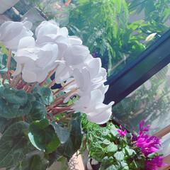 ガーデニング/ベランダガーデニング/インテリア/ベランダガーデン/ベランダ/観葉植物/... ベランダのお花🌸(6枚目)