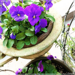 寄せ植え/ビオラ/プリムラマラコイデス/お花大好き❤/ベランダガーデン/ベランダガーデニング/... プリムラマラコイデスがブーケみたいに綺麗…(3枚目)