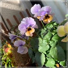 お花大好き/お花/ベランダ/ガーデニング/寄せ植え/冬のベランダ/... 明けましておめでとうございます㊗️🎉🎊 …(2枚目)