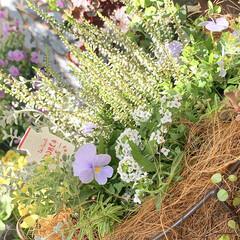 ベランダガーデニング/花のあるくらし/花のある生活/花のある暮らし/花/お花大好き/... 夏のお花がまだまだ元気だというのに、お花…(7枚目)