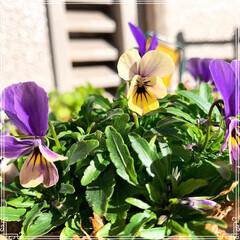 お花のある暮らし/ガーデニング/ベランダガーデニング/ベランダガーデン/お花大好き❤/おうち/... 小さいビオラ4種類❤️最後の1枚は普通の…(4枚目)