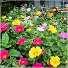 アンゲロニア/トレニア/ペンタス/ポーチュラカ/花壇の花/お花/... 三ノ宮にお出かけ❤️ 街の至る所に綺麗な…