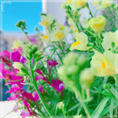 ベランダガーデン/春の寄せ植え/ガーデニング/お花大好き/ビオラ/風景/... 今日のお花シリーズ❤️ 青空が気持ちいい…