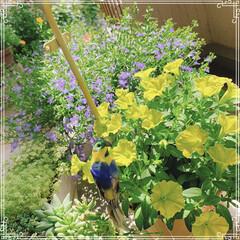 お花/ベランダガーデン/ベランダガーデニング/お花大好き/LIMIAファンクラブ/至福のひととき/... ペチュニア「YES!イエロー」 緑がかっ…