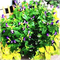 もりもりコリウス/千日紅/ベランダガーデン/トレニア/お花大好き❤/インテリア/... 雨なのでお花を移動しました✨✨ コリウス…