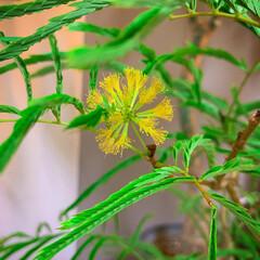 インテリアグリーン/観葉植物のある暮らし/お花大好き/エバーフレッシュ/LIMIAファンクラブ/LIMIAインテリア部/... 夜になると葉っぱを閉じてお休みするエバー…