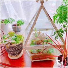 ダイソー観葉植物/ドラセナ/ポリシャス挿し木/ポリシャス/多肉寄せ植え/多肉植物/... ガラスの器にDAISO多肉ちゃん植えてみ…