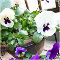 寄せ植え/ビオラ/プリムラマラコイデス/お花大好き❤/ベランダガーデン/ベランダガーデニング/... プリムラマラコイデスがブーケみたいに綺麗…(4枚目)