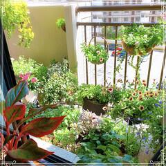 ガーデニング/お花大好き/観葉植物のある暮らし/インテリアグリーン/LIMIAファンクラブ/至福のひととき/... 台風一過☀️  避難させていた鉢を所定位…