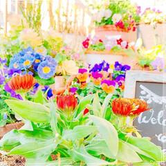ガーデニング雑貨/ベランダ/ベランダガーデン/お花大好き❤/フォロー大歓迎/雑貨/... 今日も春のような陽気☀️✨✨ 蕾が今にも…