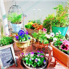 お花大好き❤/ベランダ/寄せ植え/ビオラ/ベランダガーデン/ベランダガーデニング/... 西側のベランダ❤️