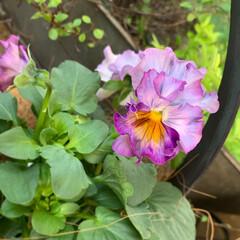 ベランダガーデニング/花のあるくらし/花のある生活/花のある暮らし/花/お花大好き/... 夏のお花がまだまだ元気だというのに、お花…(6枚目)