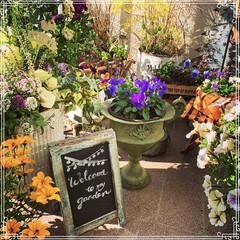 お花大好き❤/ベランダ/ビオラ/寄せ植え/ベランダガーデン/ベランダガーデニング/... アンティークな鉢を買ったのでパープルのビ…