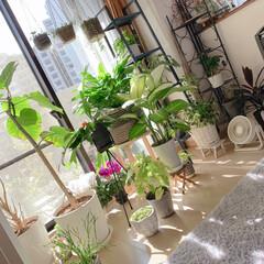 植物のある暮らし/シクラメン/お花/グリーンのある生活/インテリア雑貨/インテリア/... 観葉植物日光浴中❤️