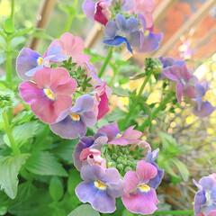 ベランダガーデニング/花のあるくらし/花のある生活/花のある暮らし/花/お花大好き/... 夏のお花がまだまだ元気だというのに、お花…(8枚目)