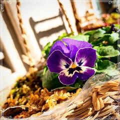 お花のある暮らし/ガーデニング/ベランダガーデニング/ベランダガーデン/お花大好き❤/おうち/... 小さいビオラ4種類❤️最後の1枚は普通の…(2枚目)